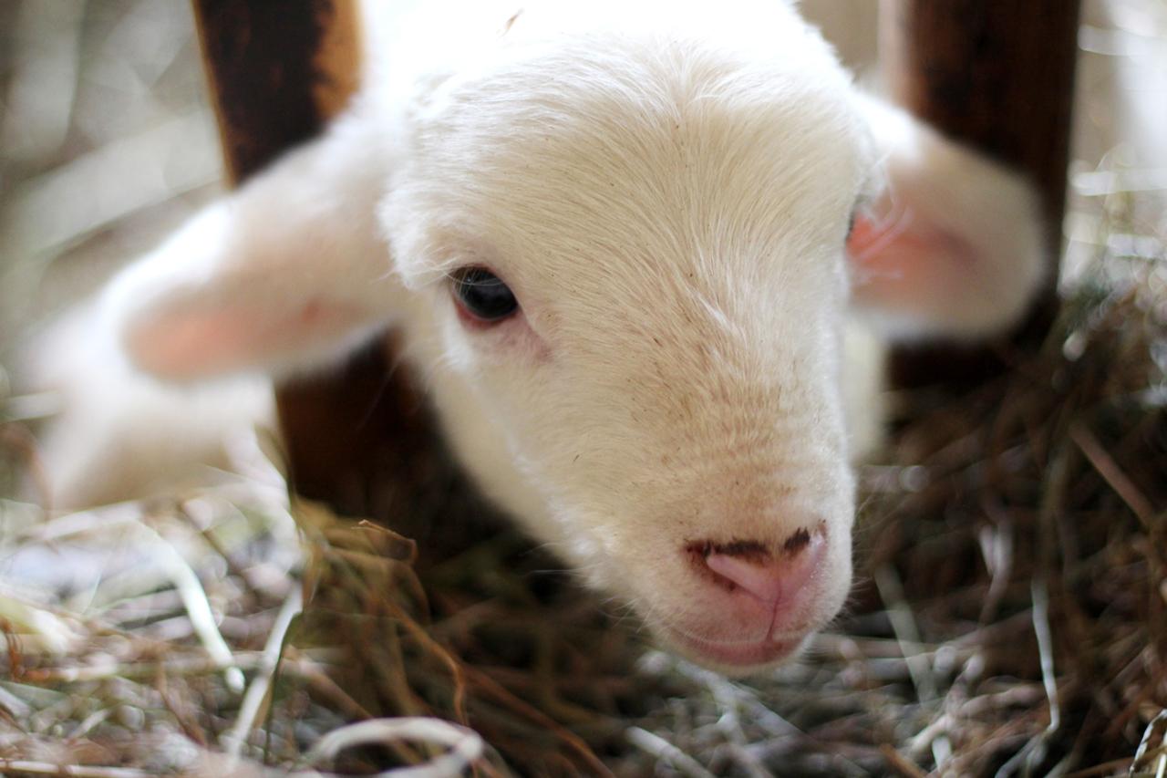 Lebenserwartung: So jung werden Tiere für ihr Fleisch getötet
