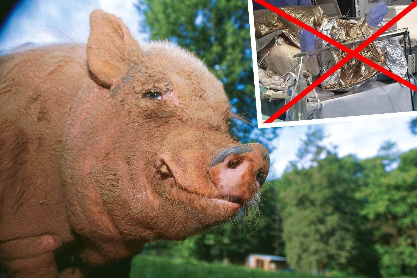 Erfolg! Keine chirurgischen Übungen an Schweinen mehr