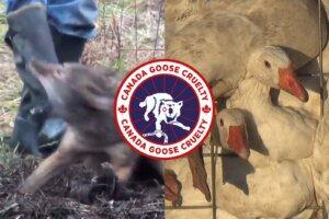 Collage Kojote Gans Canada Goose