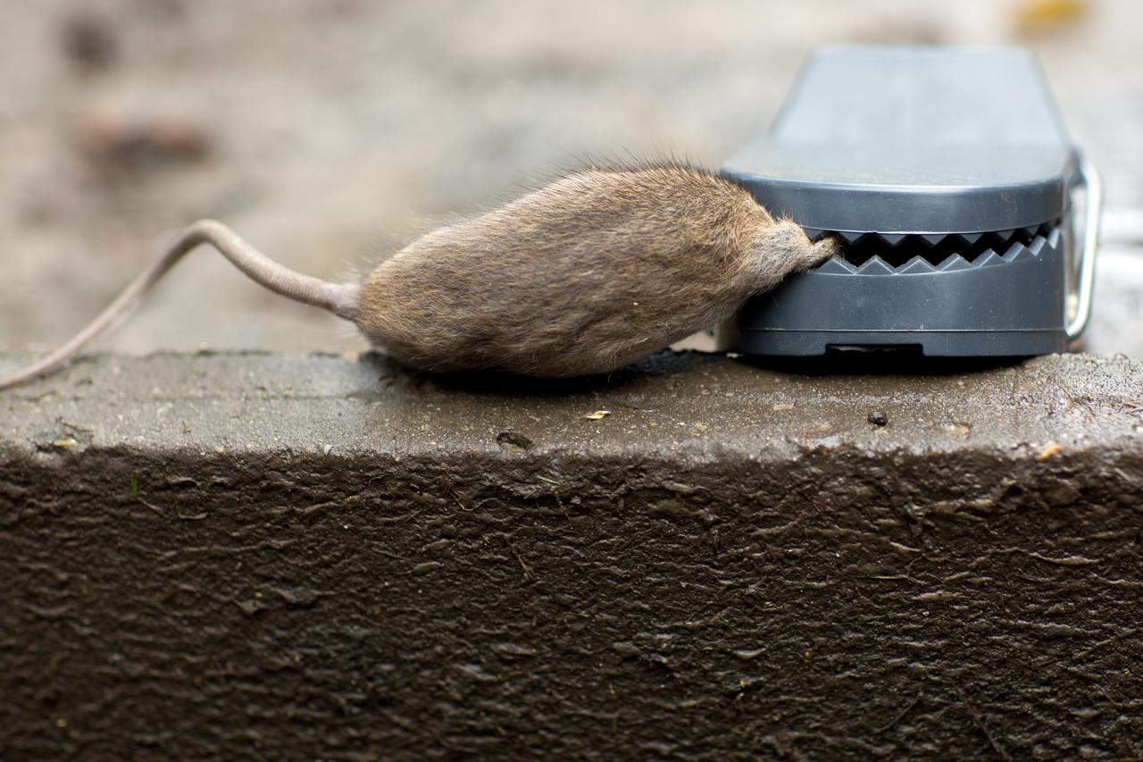 Es Ist Doch Nur Eine Ratte