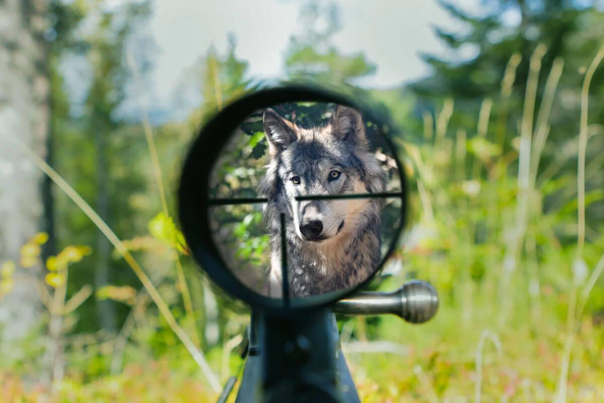 Jäger fordern Wolfs-Abschuss: DAS ist die Wahrheit dahinter