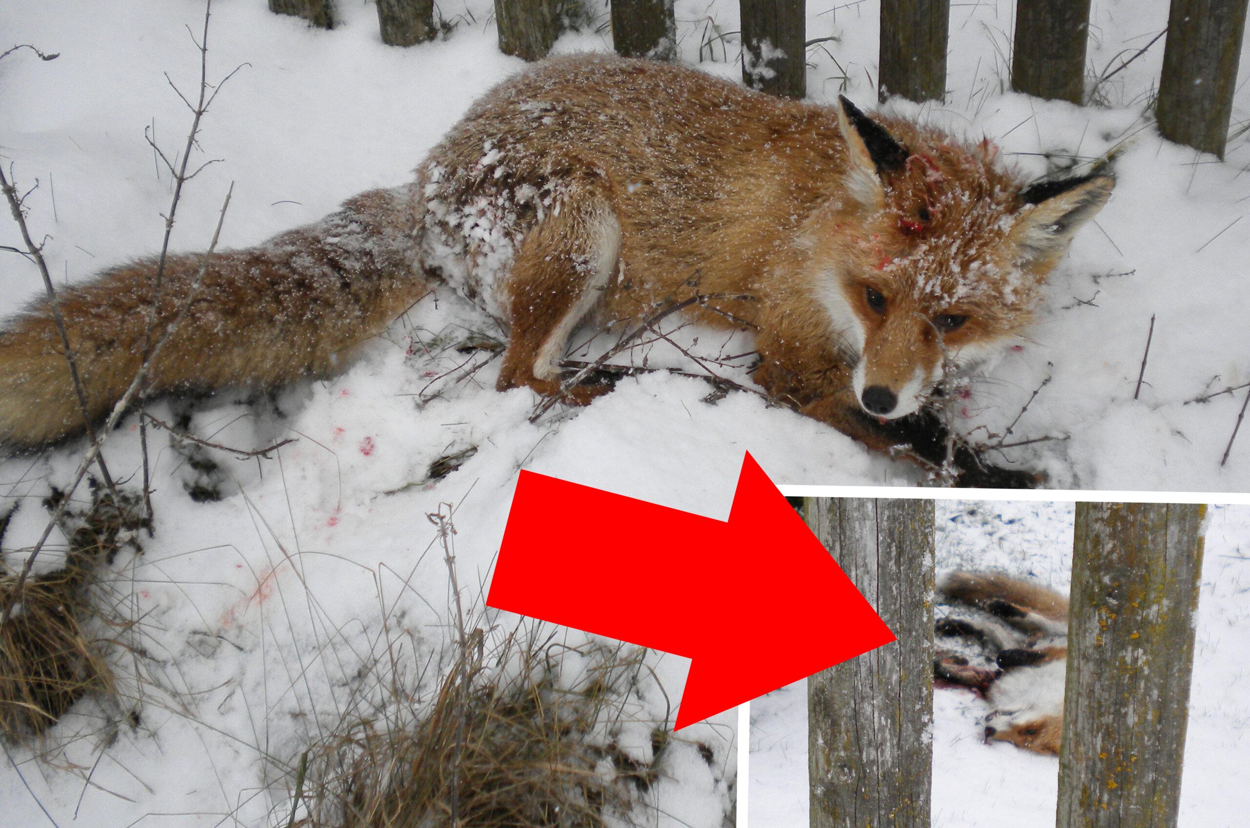 Jagdhunde hetzen schwer verletzten Fuchs in einen Garten