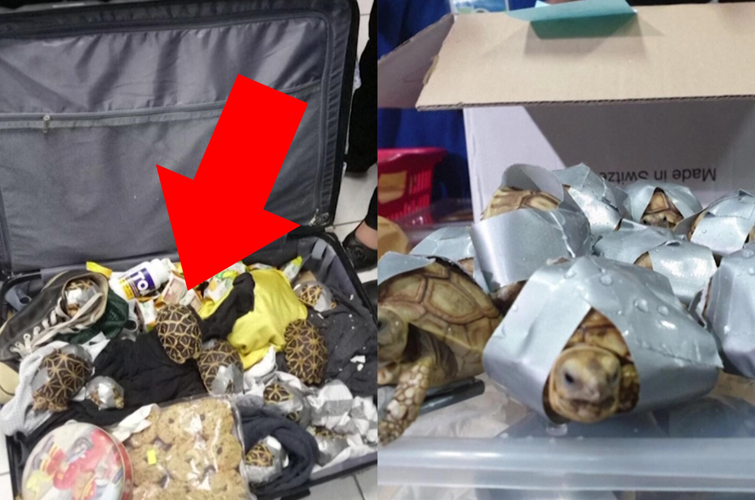 Philippinen: 1.500 LEBENDIGE Schildkröten in Koffern entdeckt