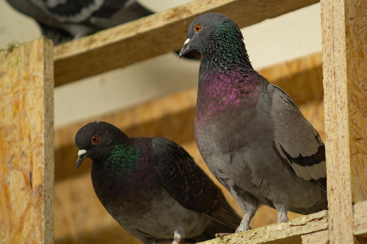 Tauben Taubenschlag