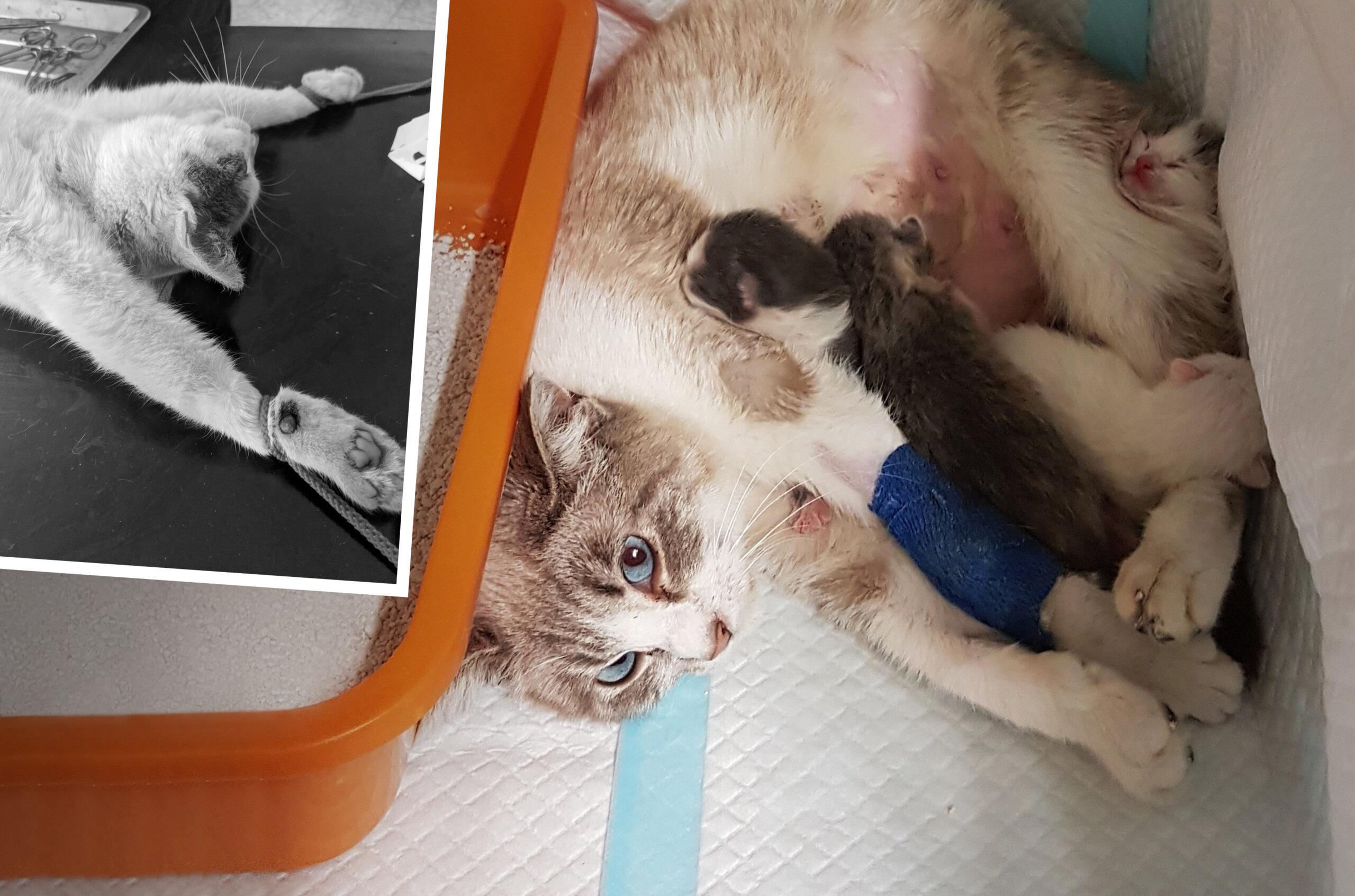 Notfall-Kaiserschnitt für streunende Katze Meghan in Rumänien