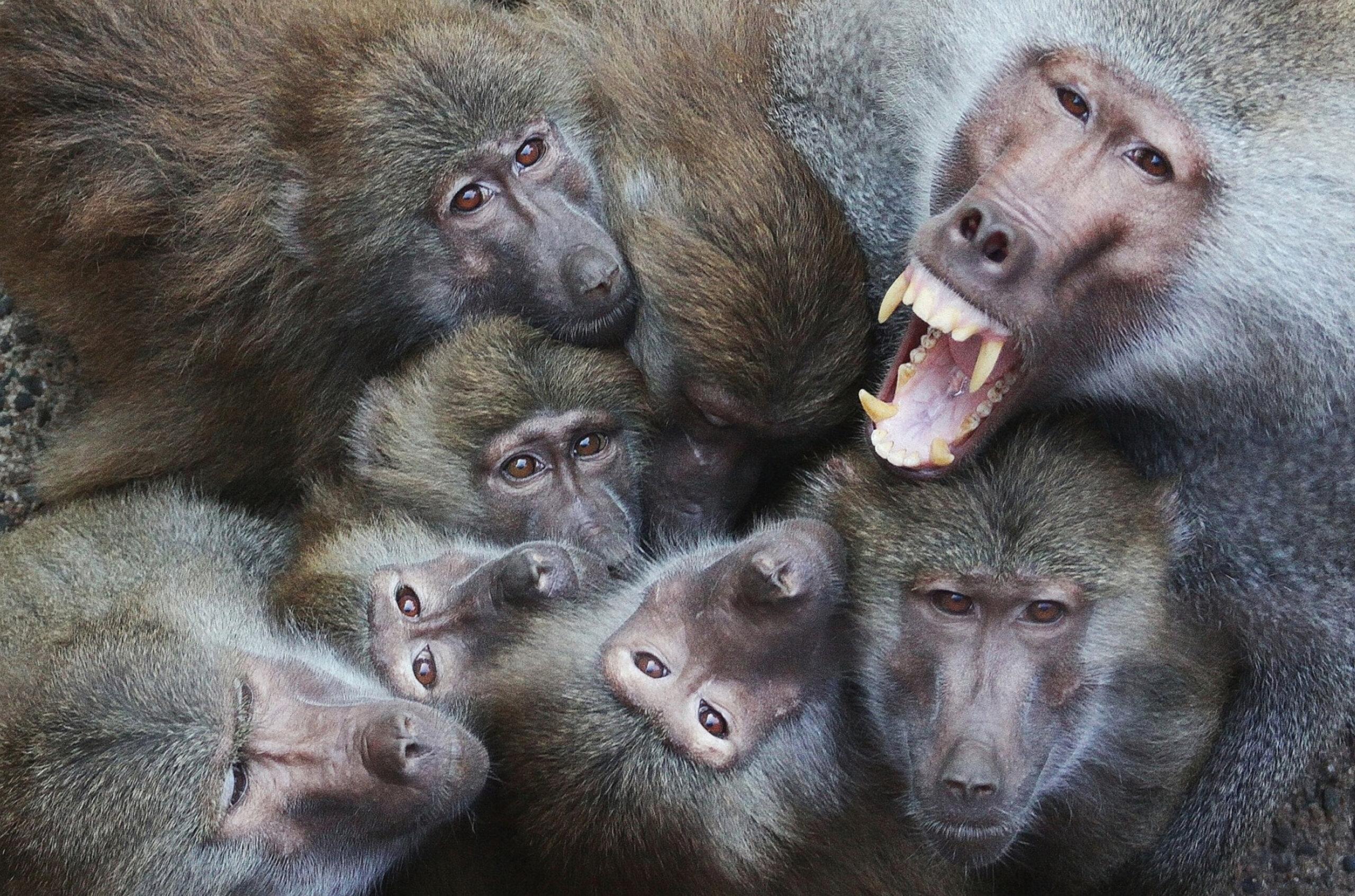 Neunkircher Zoo hält 72 Paviane in winzigem Gehege gefangen