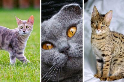 Qualzuchtrassen von Katzen