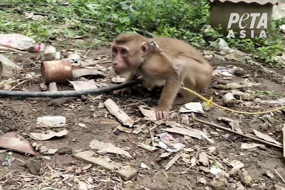 Affe auf Kokosnussfarm