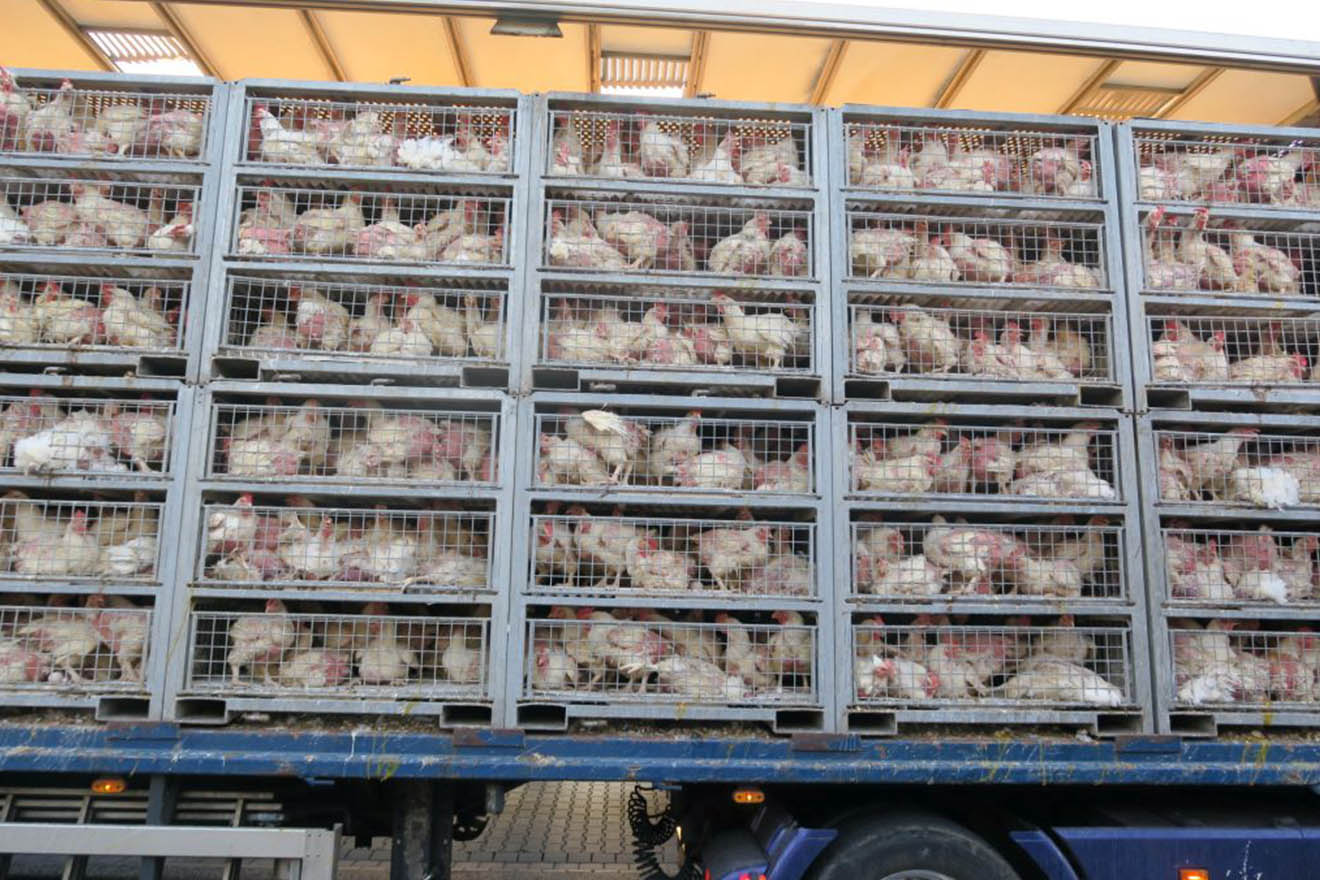 Tiertransport: 500 Hühner sterben einen qualvollen Hitzetod