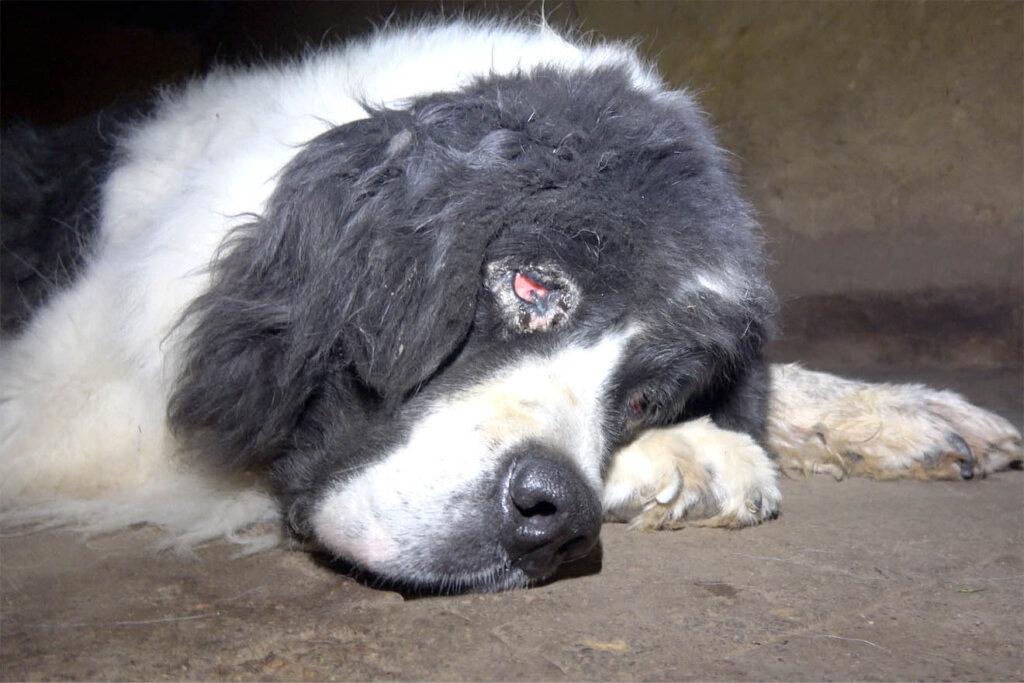 kranker Hund mit verletzten Augen
