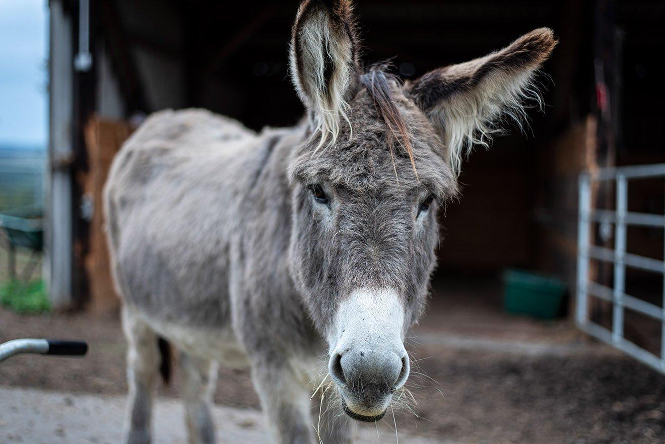 Der Esel – 10 faszinierende Fakten über Esel