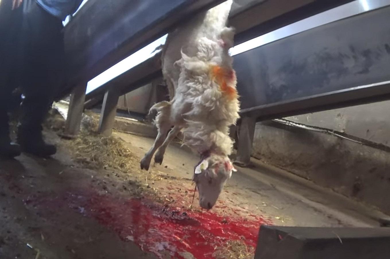 Video: Diese Schafe werden aufgehängt und geköpft!
