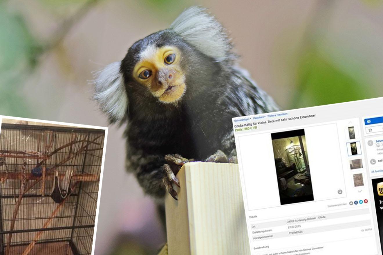 Aufgedeckt: Dieser Affe wurde skrupellos im Internet angeboten!