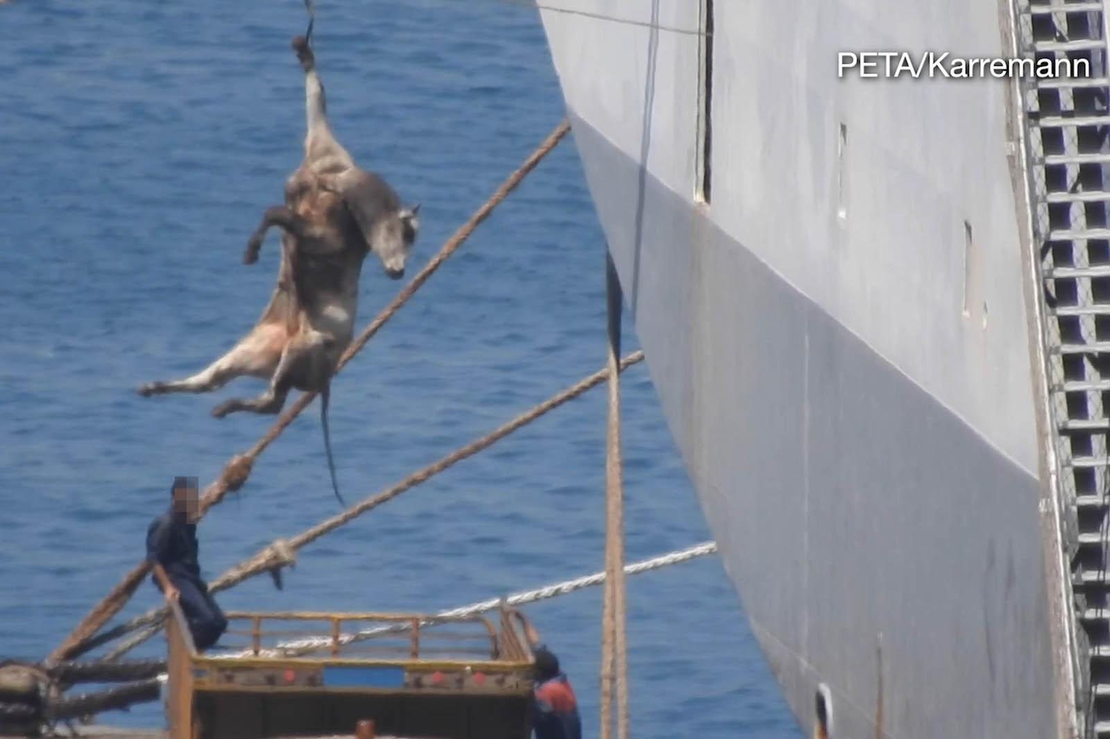 Rind wird an Seil um die Hufe hochgezogen auf ein Boot