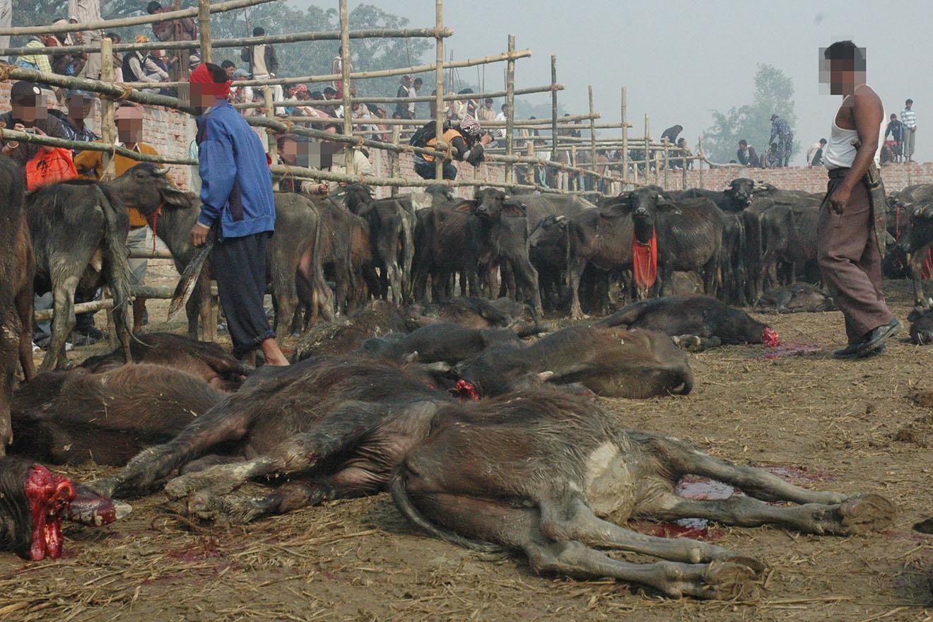 Gadhimai: Helfen Sie uns, das Tiermassaker in Nepal zu beenden!