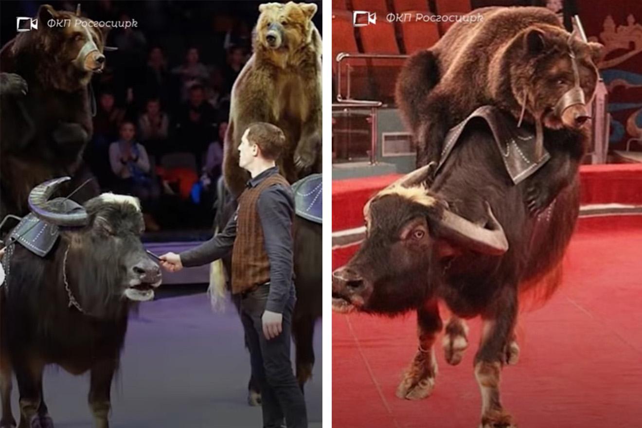 Video: Zirkus zwingt verängstigte Bären, auf Büffeln zu reiten