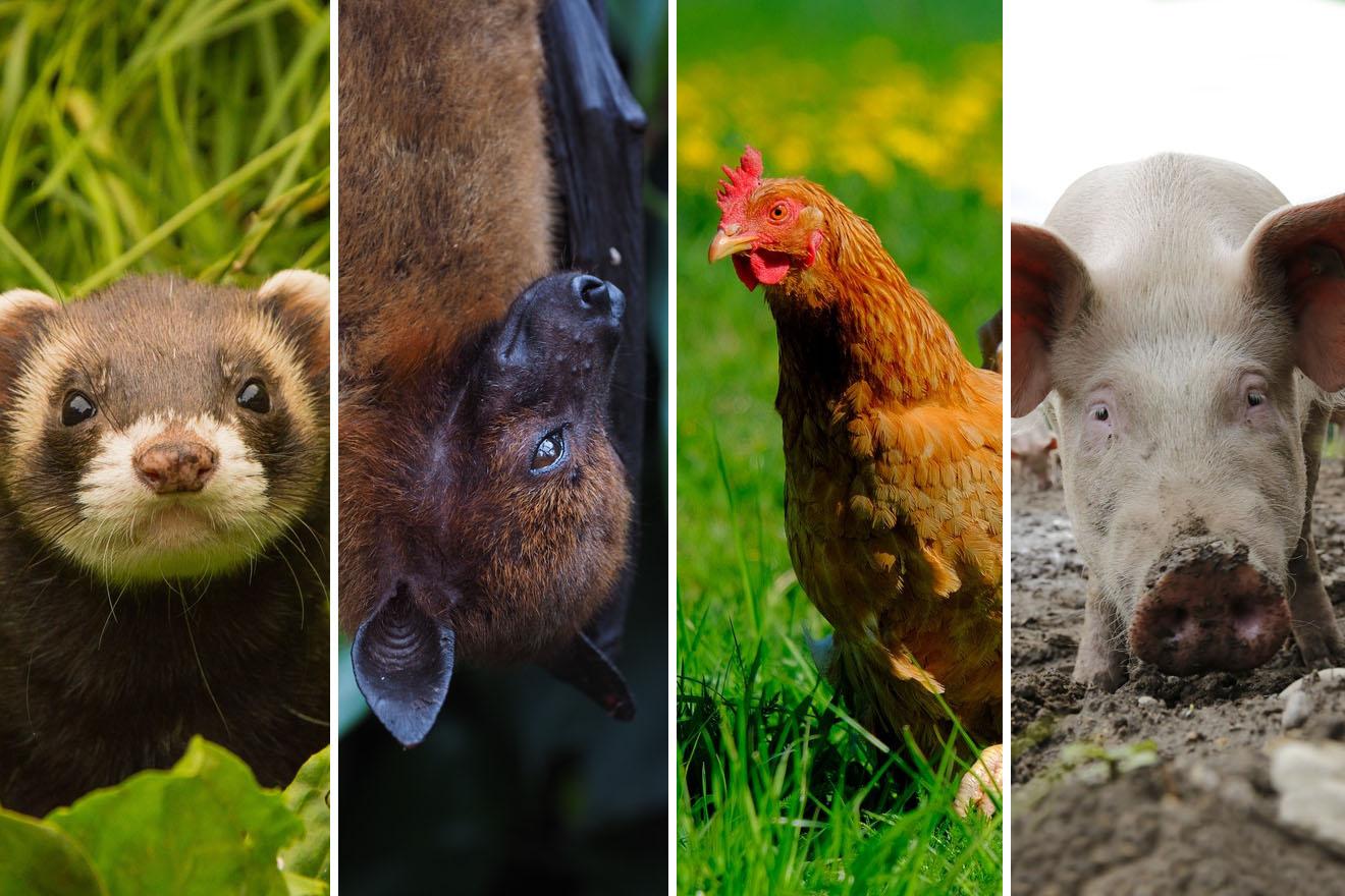Absichtlich mit Corona infiziert: Diese Tiere wurden dafür missbraucht!