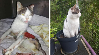 Katze Nikki mit Verbrennungen vorher und nachher geheilt