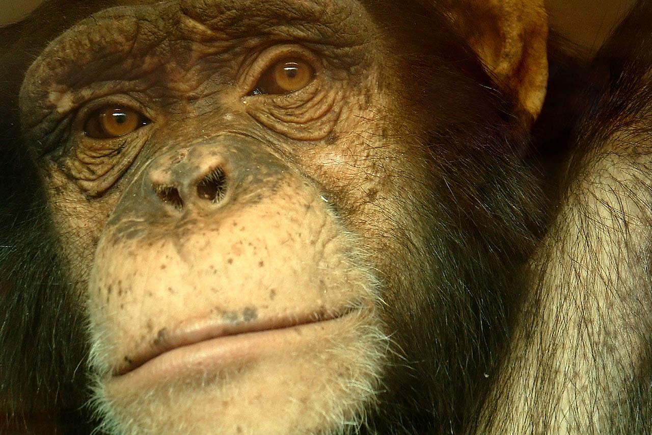Gemobbt & blutig gebissen: So leidet Affe Bili im Zoo Wuppertal