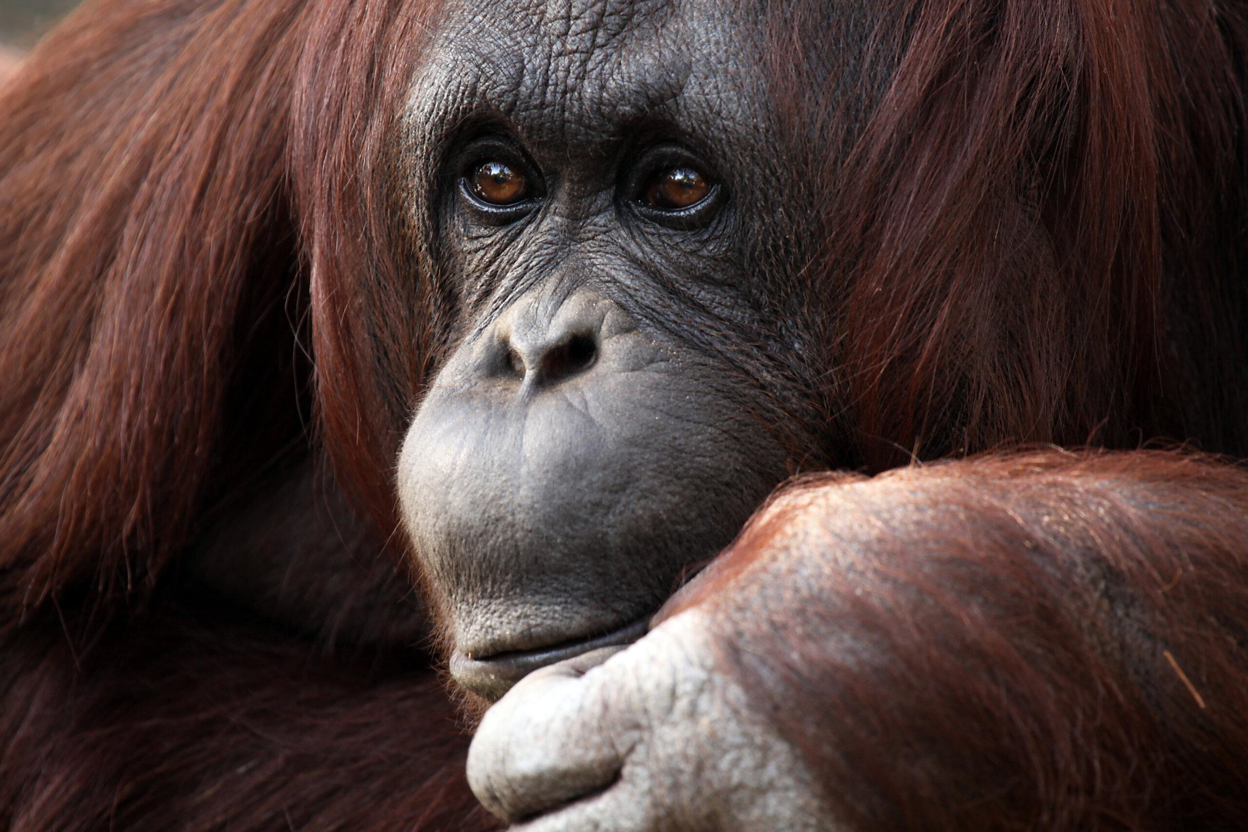 Orang-Utan-Dame Sandra nach 33 Jahren aus Zoo befreit