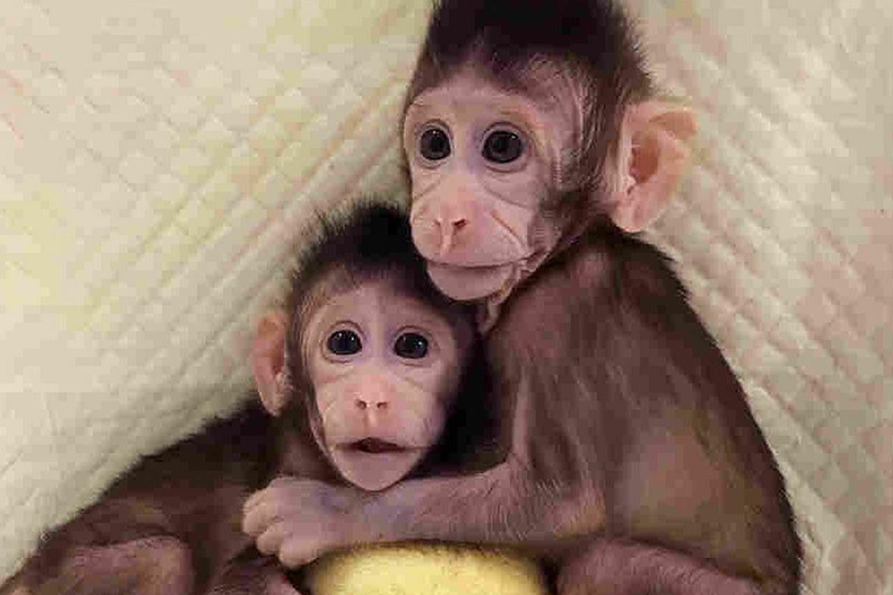 """Erstmals Affen geklont: So viel Leid steckt hinter dieser """"Sensation""""!"""