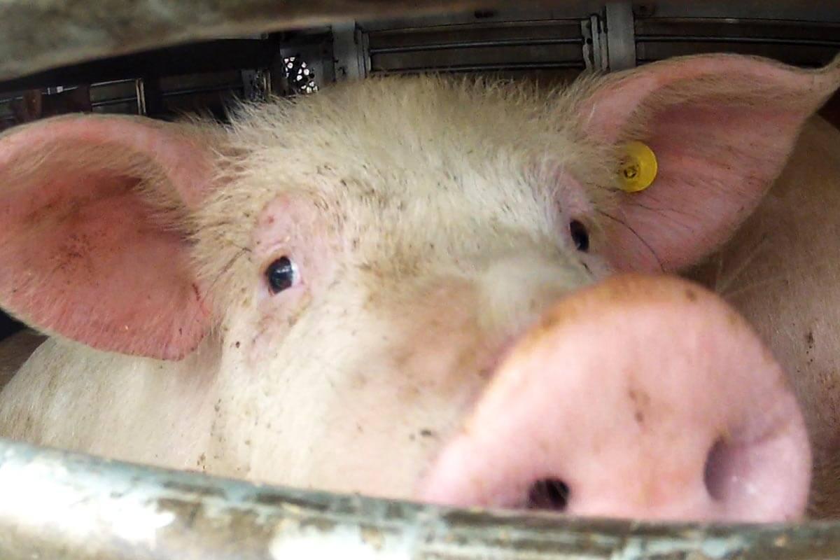 Tiere sind kein Frachtgut: So werden Sie aktiv gegen Tiertransporte