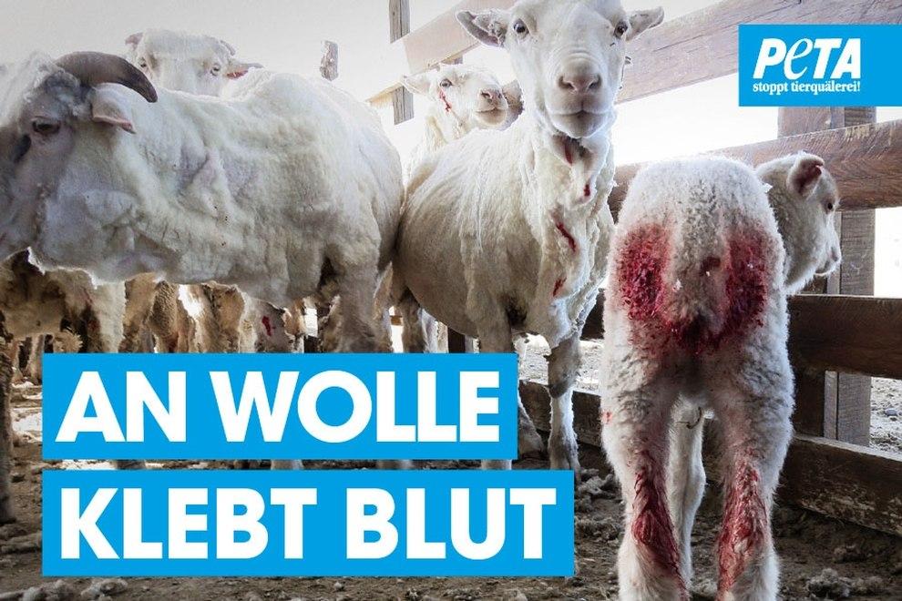 An Wolle klebt Blut