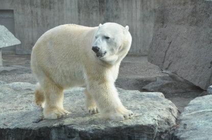 Eisbaer im Zoogehege