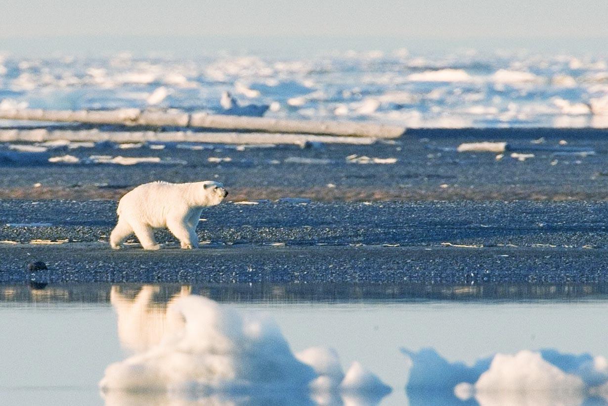 Eisbären nicht nur durch den Klimawandel vom Aussterben bedroht