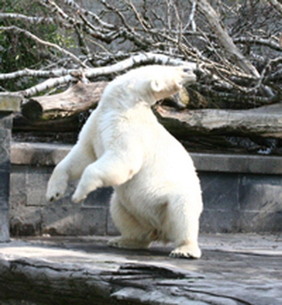 dc2f7272a9736d Kopfdrehstereotypie bei einem Eisbären - Klicken Sie auf das Bild für eine  Vergrößerung