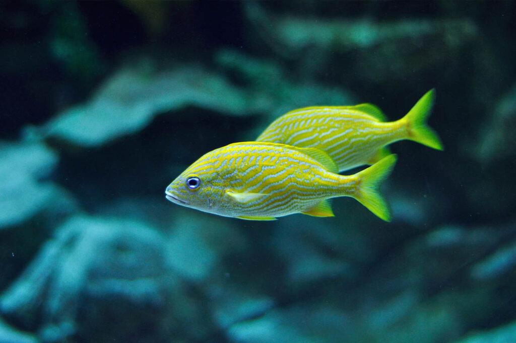 Gelber Grunzerfisch