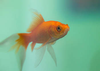 Fische f hlen schmerz auch ohne neocortex for Fisch bilder