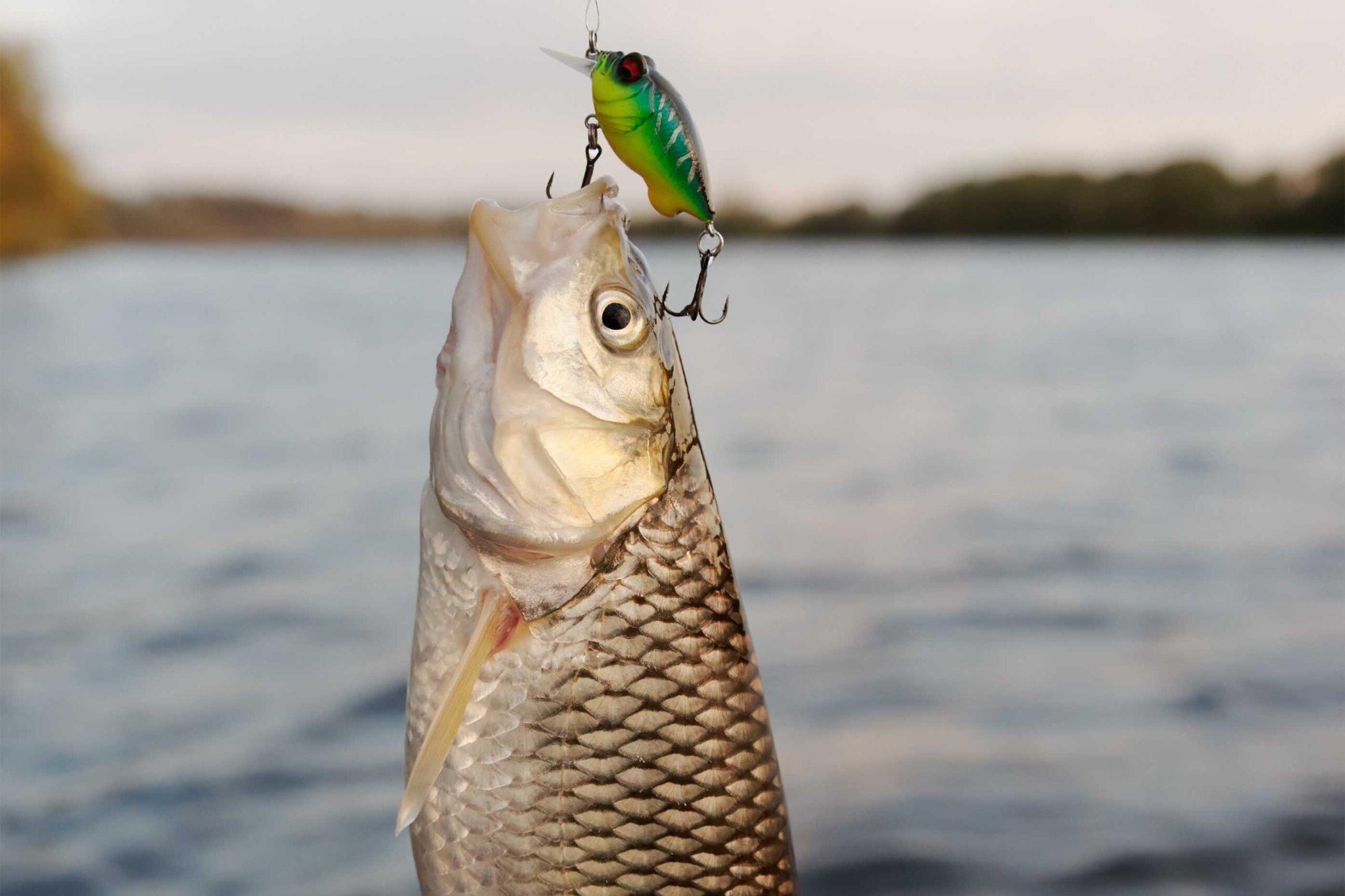 Angeln: Alles, was Sie über das Leid der Fische wissen müssen