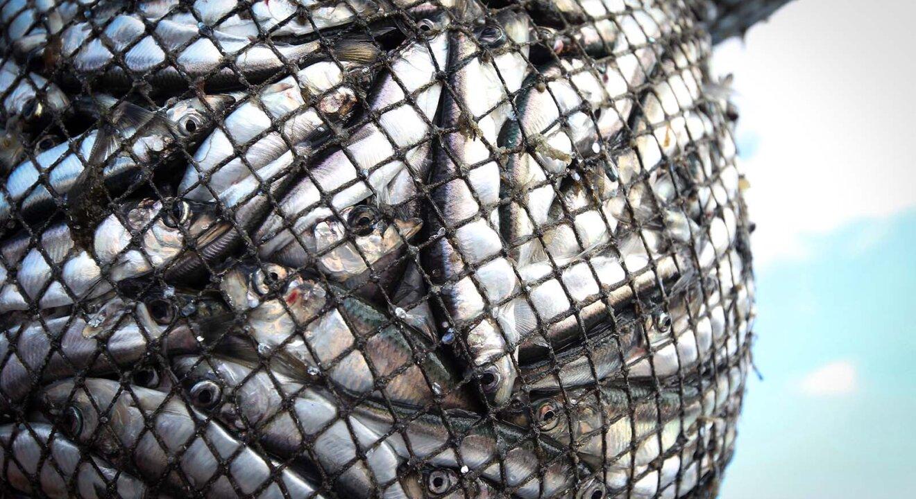 Fische im Netz