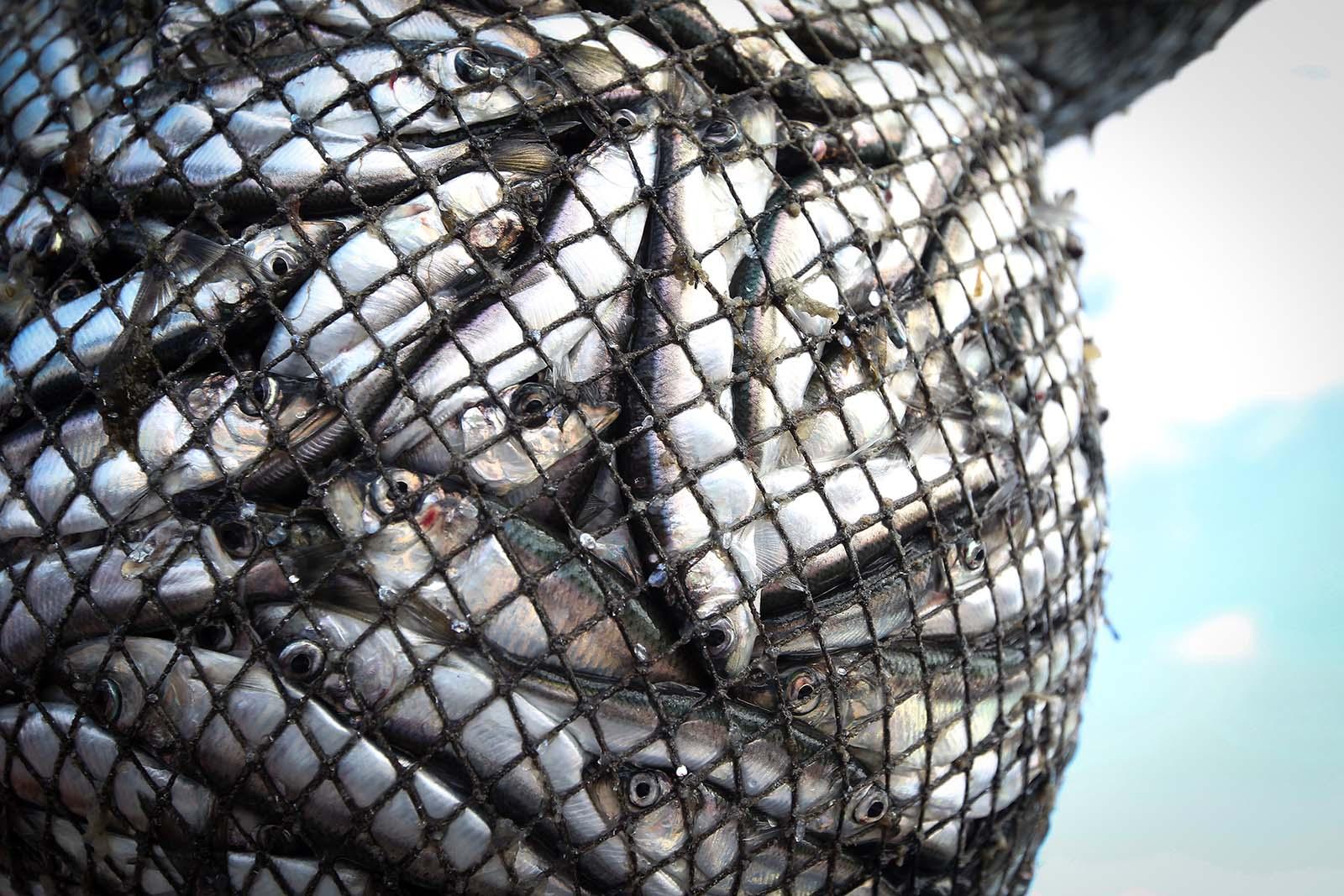 Fischkonsum: Aquakultur und Fischfang fordern Milliarden Opfer