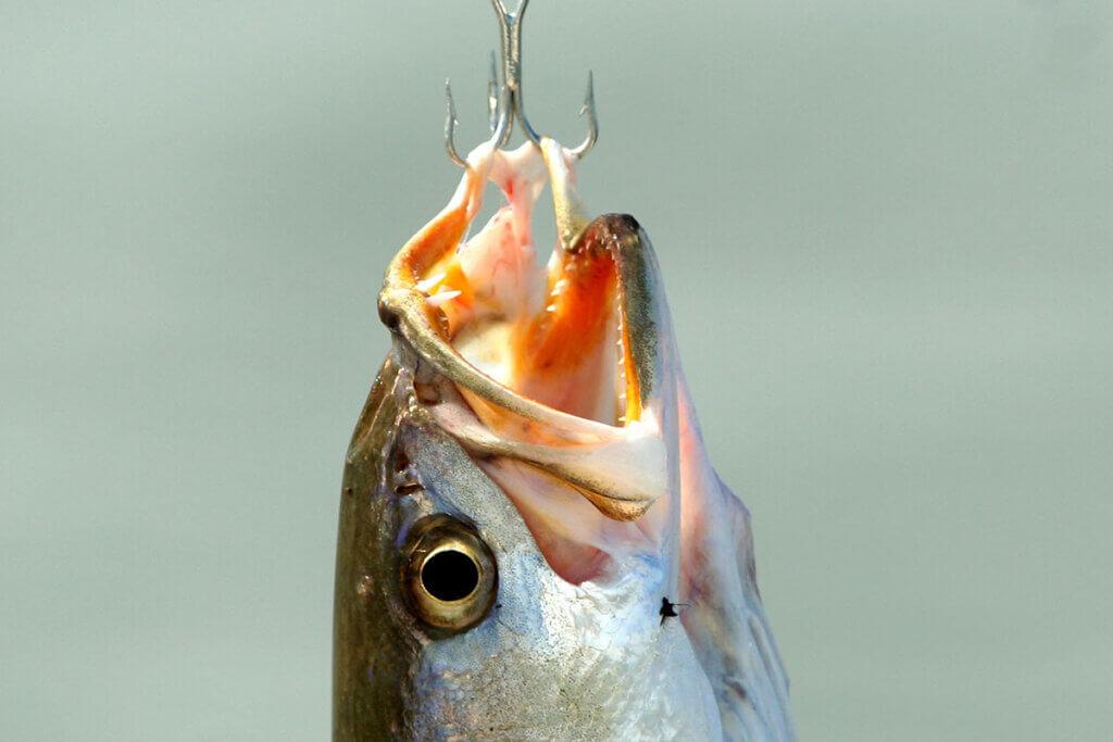 Fisch am Angelhaken