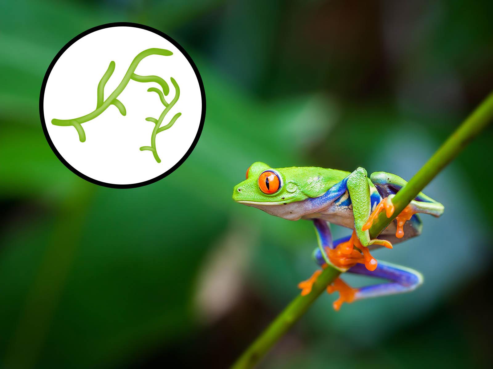 Tödlicher Pilz bedroht die Bestände von Amphibien – Internationales Forscherteam fordert weltweites Handelsverbot mit Amphibien