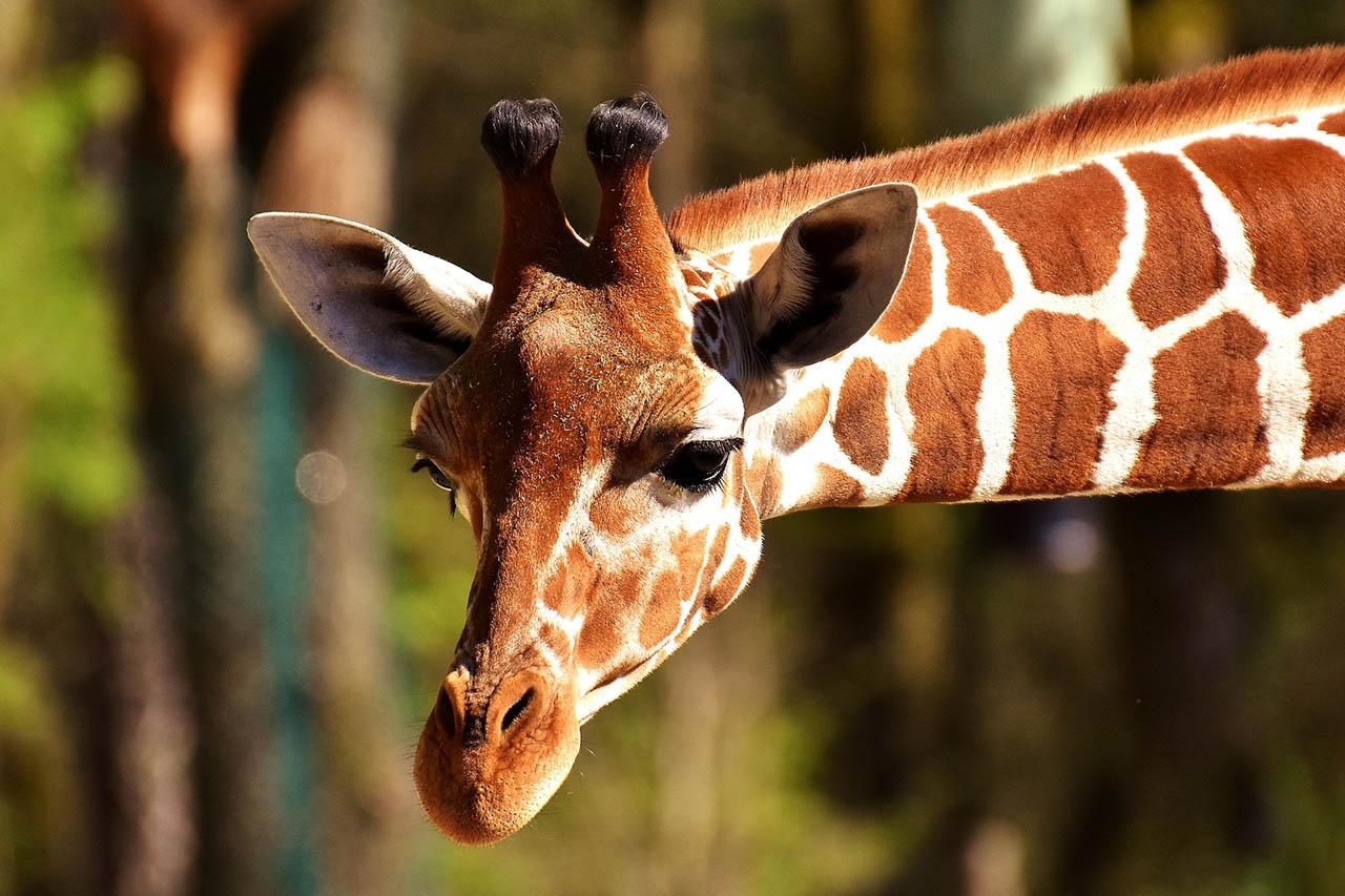 So viele Giraffen verunglücken und sterben in deutschen Zoos
