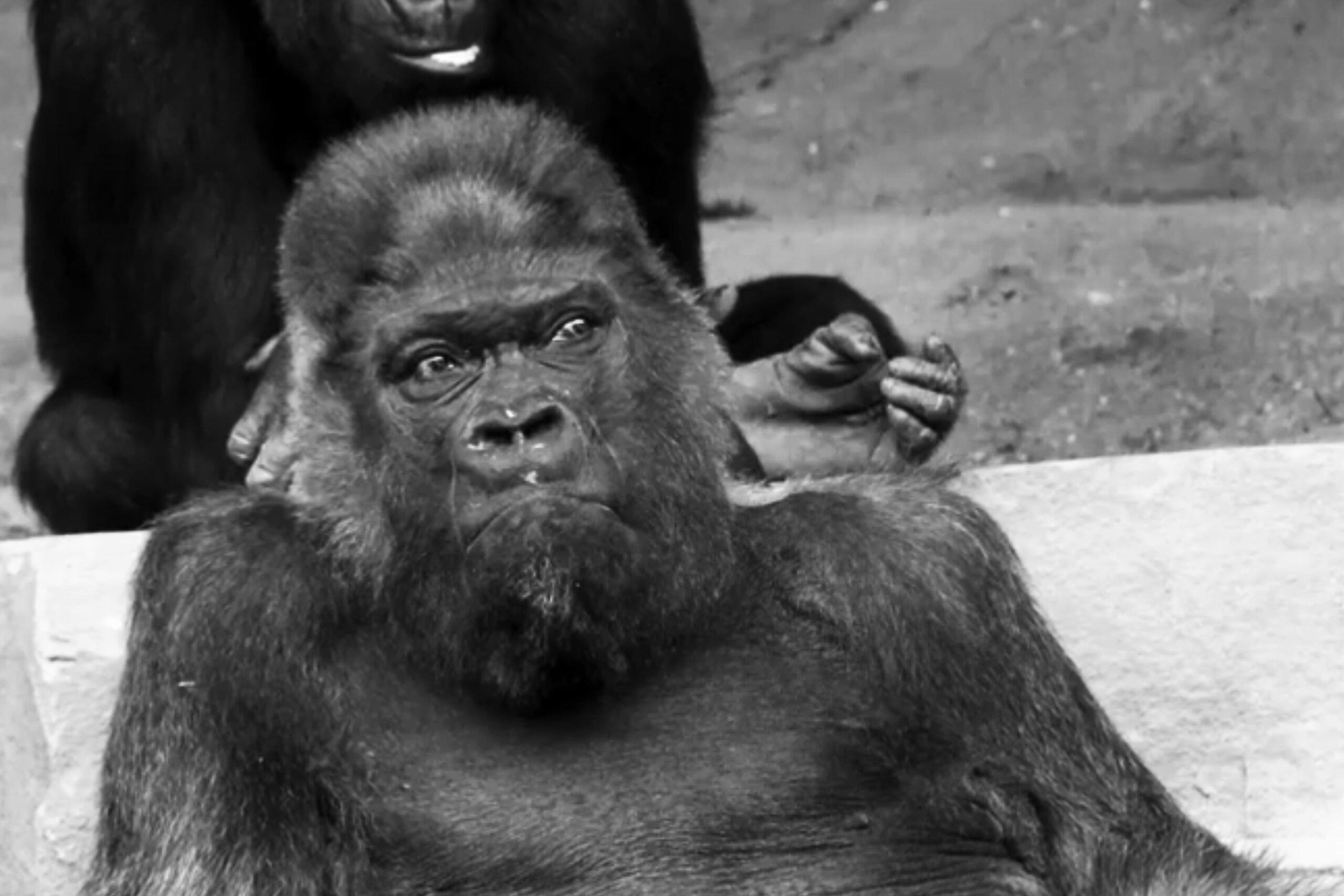 Gorilla Fritz stirbt nach 52 Jahren in Gefangenschaft