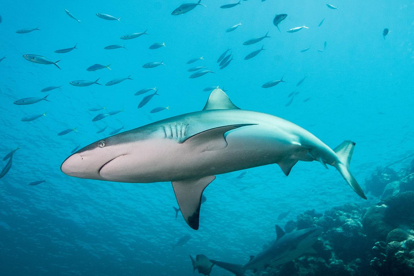 Der Hai – 11 faszinierende Fakten über Haie