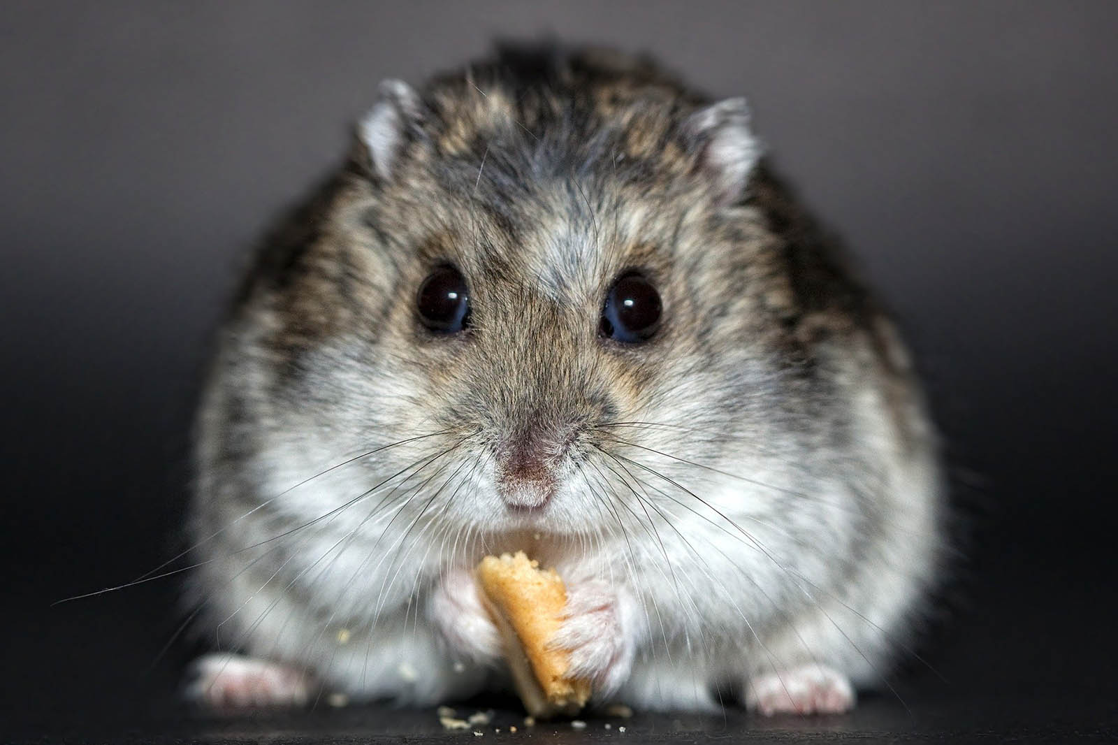 Hamster: Das sollten Sie über die Haltung der Tiere wissen