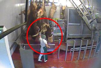 Weitere Aufnahmen aus Horror-Schlachthof in Oldenburg: Rinder bei Bewusstsein getötet