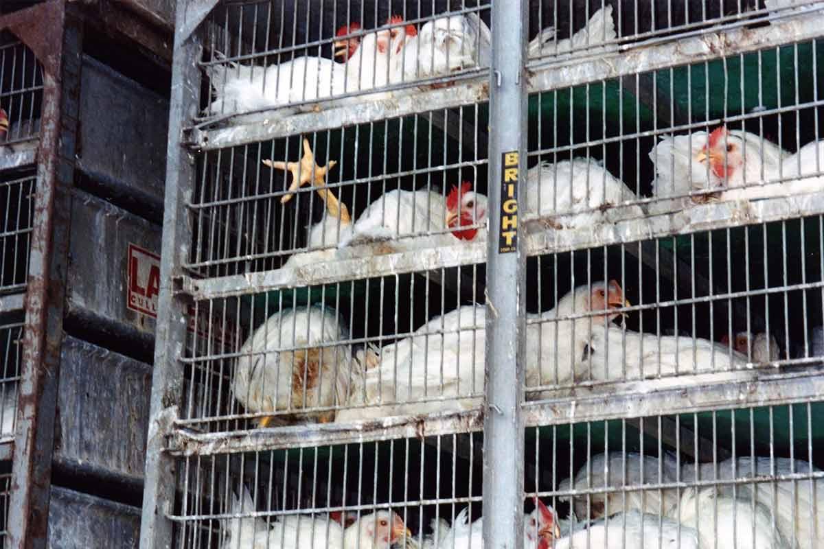 hühner in einem transporter