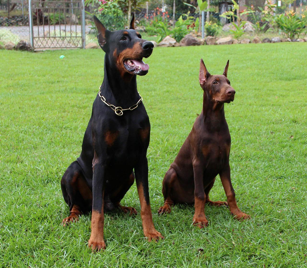 Kupierte Hunde Grausamkeiten Im Namen Der Rasse