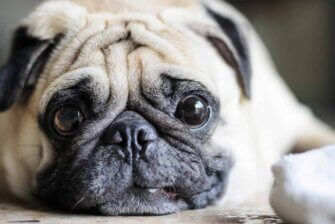 """Diese 17 """"Haustiere"""" sind Qualzuchten – Merkmale und Krankheiten"""