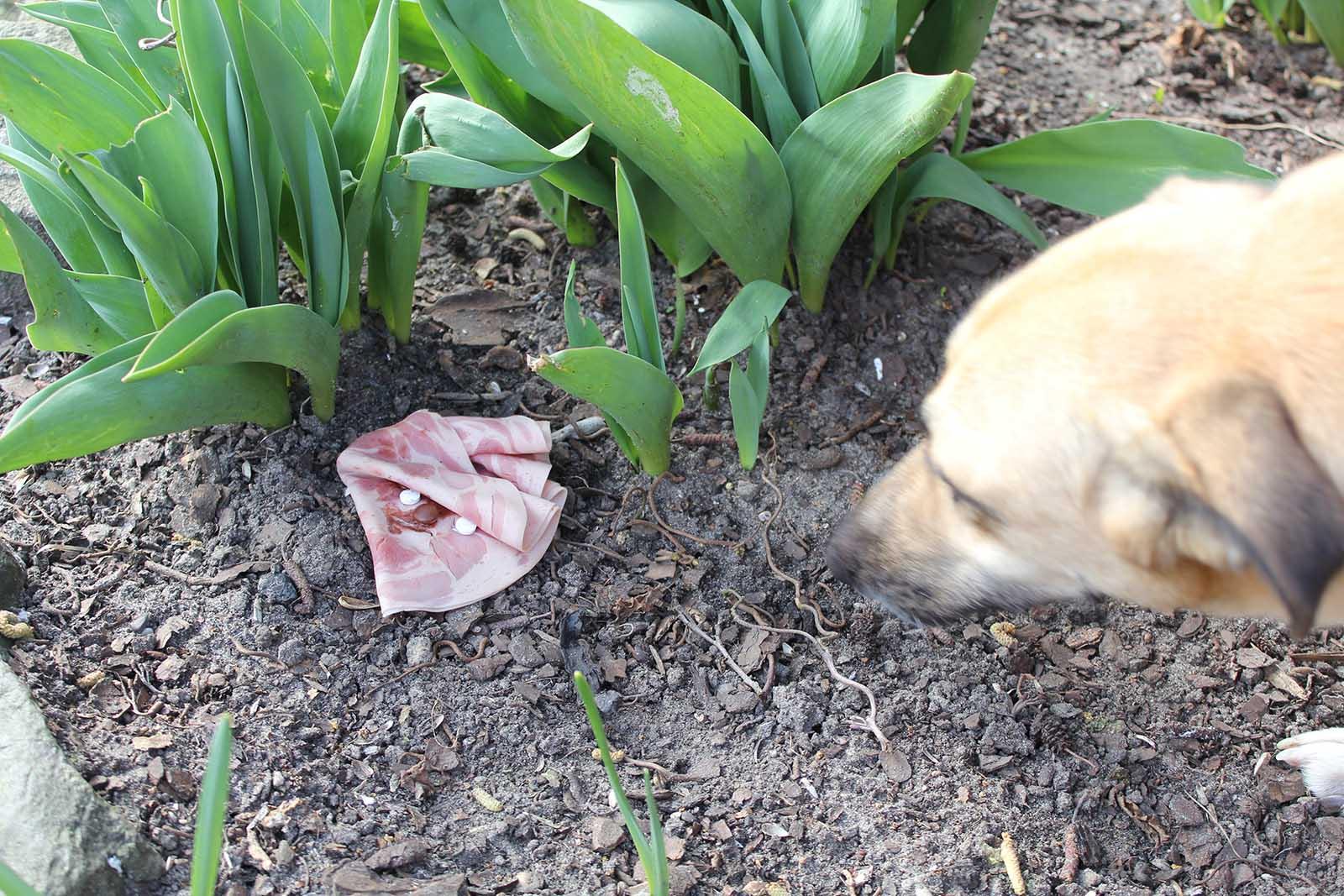 Giftköder beim Hund: Vergiftung erkennen und behandeln