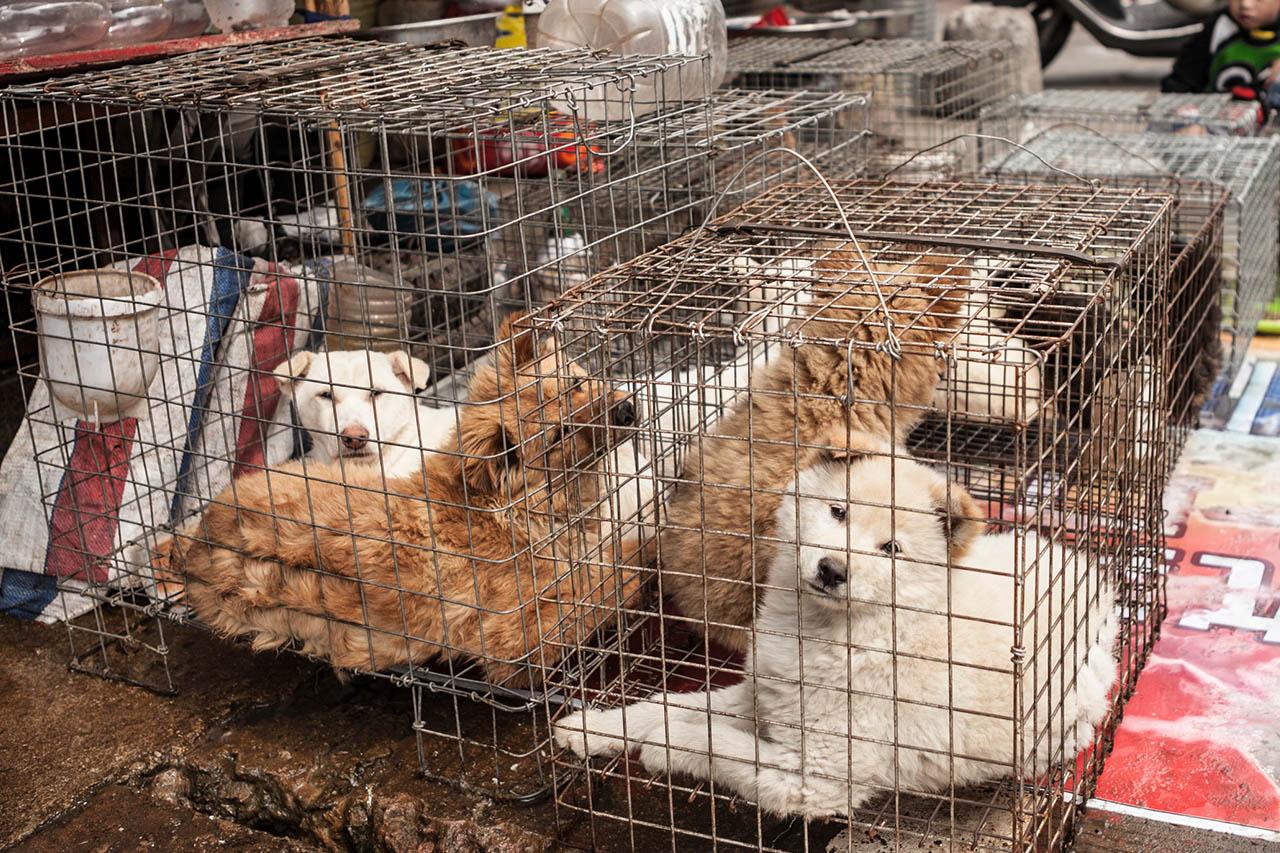Yulins grausames Hundefleisch-Festival – So können Sie helfen