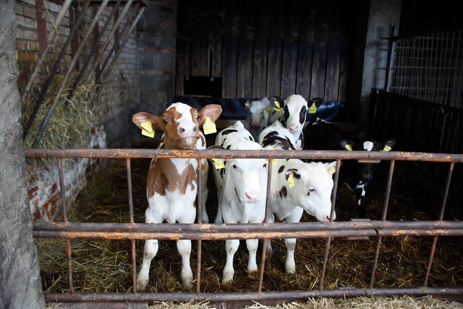 Kälber in der Milchindustrie: Tierbabys als Abfallprodukte?