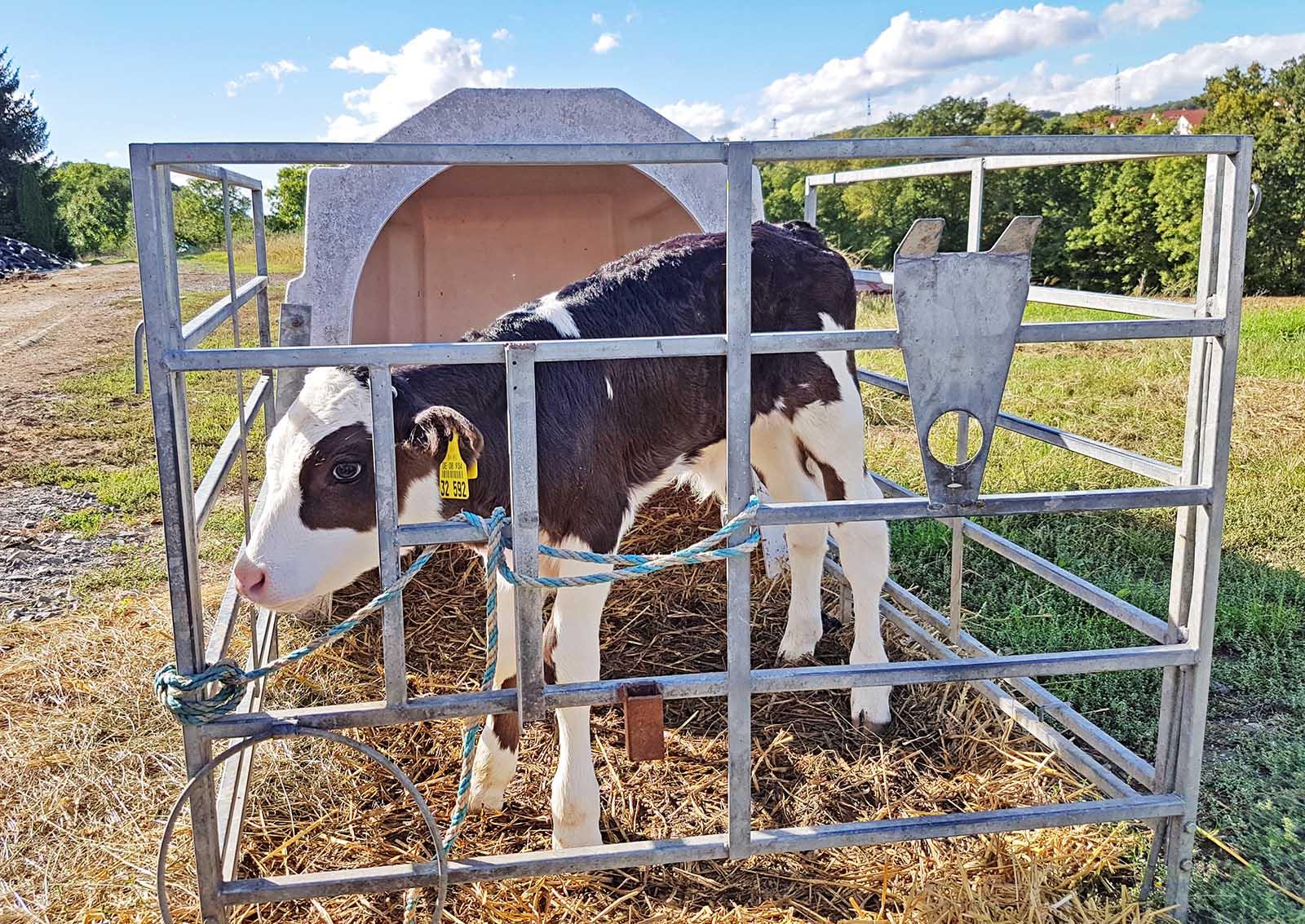 Die Einsamkeit in Kälberboxen ist für Kälbchen meist traurige Realität in der Milchindustrie