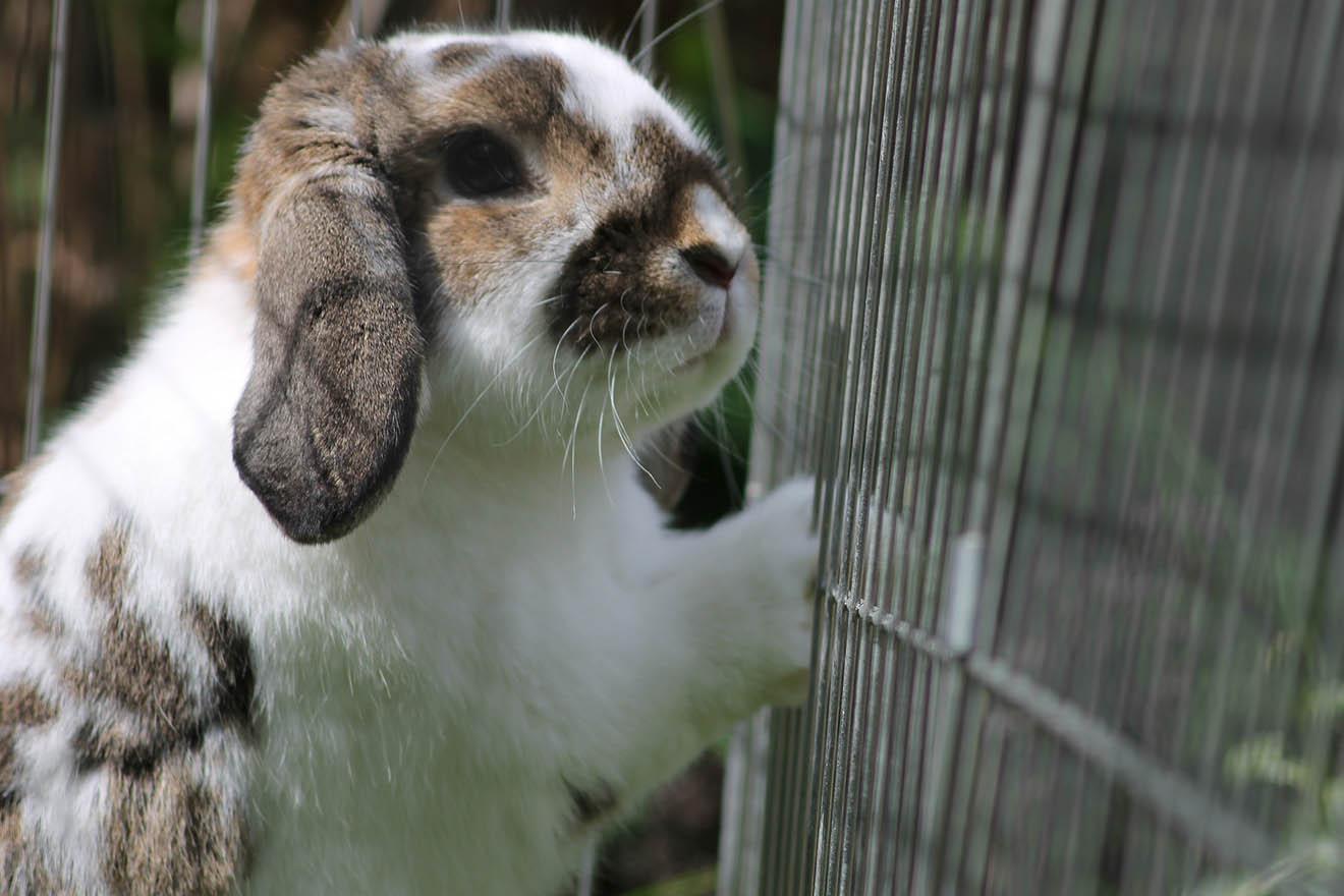 Neue Richtlinien: Tierärzte lehnen Käfighaltung von Kaninchen ab